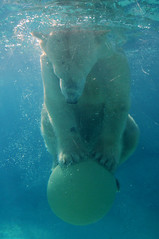 How do you get a 1000lb Polar Bear to balance on a ball? (ucumari) Tags: animal mammal nikon north polarbear carolina willie february 2009 nczoo willy wilhelm ursusmaritimus mywinners abigfave ucumariphotography impressedbeauty theperfectphotographer