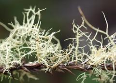 Old Man's Beard - EXPLORE #324, 2-12-09 (Kazooze) Tags: nature garden fuzzy explore stringy lichen allrightsreserved oldmansbeard usnea honeybunch blueribbonwinner srj