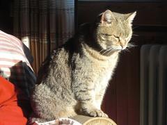 febrer 2009 018 Disfrutant el solet / Enjoying the sun (visol) Tags: cat gata chatte mixa catmoments
