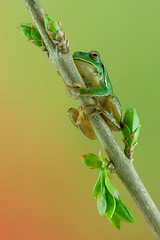 Rela - Common tree frog - Hyla arborea (jltfoto) Tags: hylaarborea rela commontreefrog