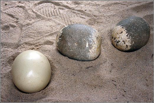 ostrich-eggs