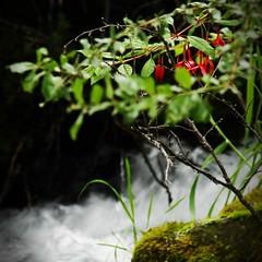 Bellas junto al arroyo (Bogaugon) Tags: red flower green water leaves rock creek squareformat naturesfinest