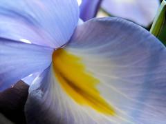 ris (argaritaesteves) Tags: iris nature nectar guide iridaceae tepal nectarguide