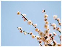 Japanese Apricot 090310 #01