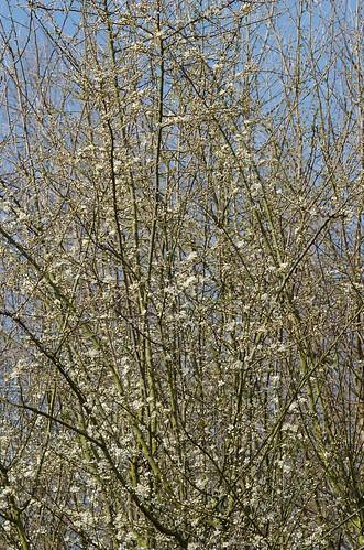 Prunus insititia Mirabelle de Nancy - Mirabelle-pruim, wild plum