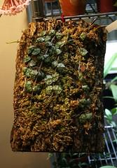 Hoya curtisii (mikeandhisplants) Tags: flower hoya asclepiad apocyanaceae hoyacurtisii