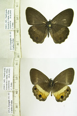 Splendeuptychia spn6