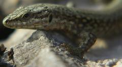 Tsagarta (Susonauta) Tags: asturias oviedo lagartija reptil asturies