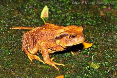 3_D303680-Toad, Frog, Taiwan ---- (HarryTaiwan) Tags: taiwan frog toad          harryhuang hgf78354ms35hinetnet