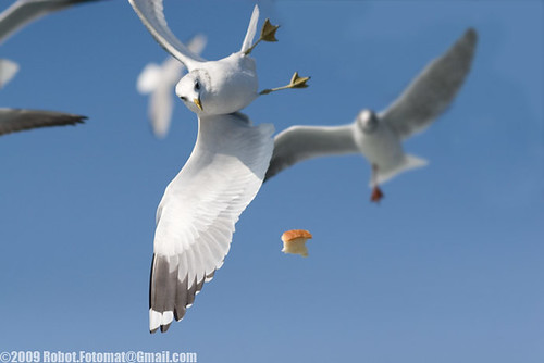 Bosphorus Seagulls