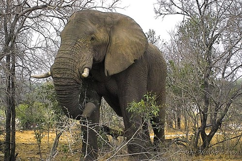 African Elephant by Arno & Louise, on Flickr