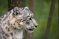 Panthre des neiges (JR Guillaumin) Tags: bigma once snowleopard animalia mammalia unciauncia ounce carnivora felidae chordata irbis pantherauncia pantherinae uncia peaugres sigma50500mmf463 l