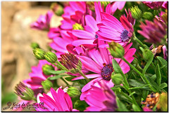 I Love You Mom (krisdecurtis) Tags: pink flowers italy woman macro love nature beautiful canon mom women italia 300d campania canon300d natura mamma kris fiori 2009 amore mothersday festadellamamma maddaloni krisdecurtis alvignano fattoriamilia