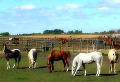 giddy-ups (nfin (verna R)) Tags: ranch sky horses animals farm galope