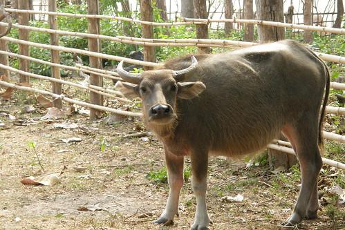 115.對人好奇的牛