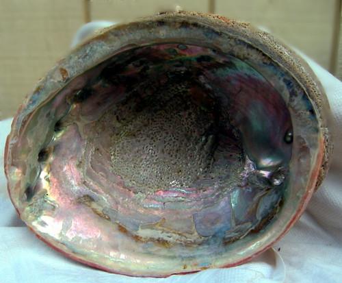 Abalone Shell 1