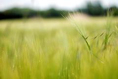 f1.2 (Frau Koriander) Tags: corn dof felder 55mm crops cereals f12 getreide nikond80