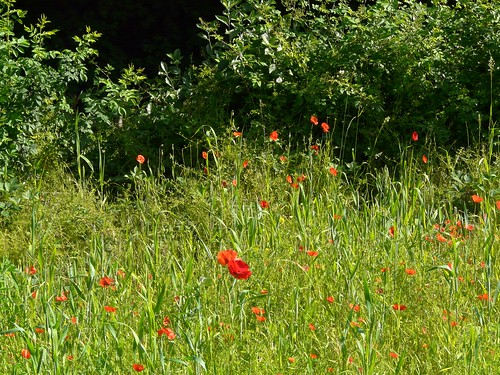 Poppies in Stave Hill Ecology Park