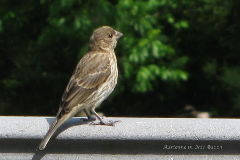 femalehousefinch2
