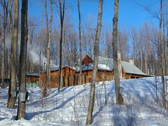 Sugar Bush in a Maple Forest