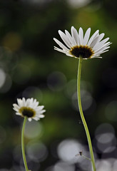 HBW Daisies (wishymom (Stephanie Wallace Photography)) Tags: flowers two nature daisies garden bokeh pair frombelow lookingup daisy bigmomma thechallengegame challengegamewinner inwildflowers herowinner