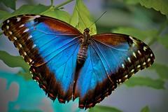 Peleides Blue Morpho (DLudovici-Dorothy) Tags: supershot mywinners fbdg dorothyludovici flickraward soulmirror