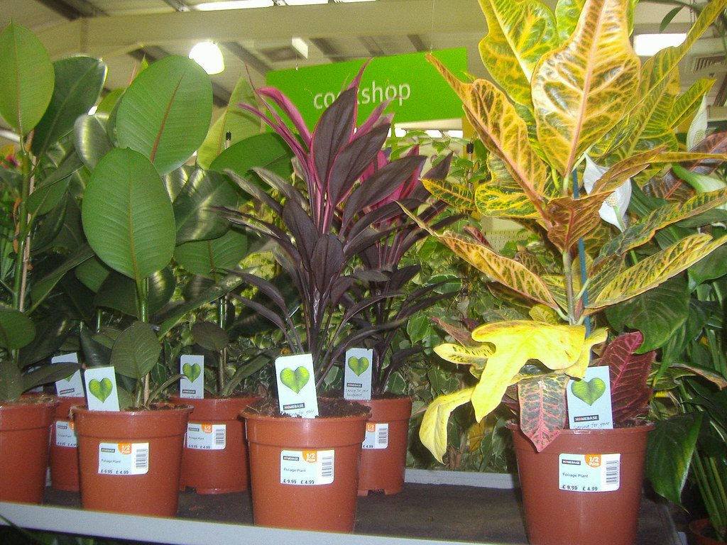 croton and rubber plants Homebase