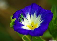 Les cuisses musclées... (fabdebaz) Tags: macro fleur 31 distillery 2009 baziège insecte aficionados sudouest hautegaronne lauragais k10d pentaxk10d colorphotoaward justpentax collectionnerlevivantautrement vosplusbellesphotos baziege