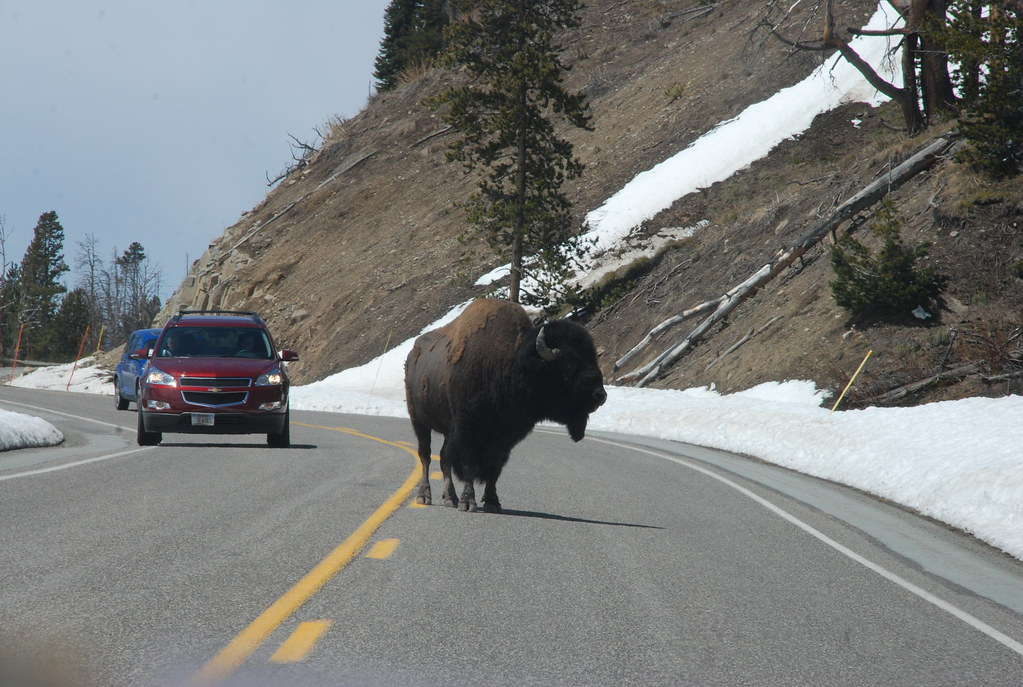 bison in the middle of the road at Yellowstone