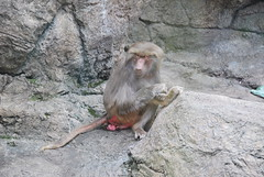 Angry Pouting Baboon (thoth1618) Tags: park nyc newyorkcity brooklyn zoo monkey prospectpark baboon hamadryasbaboon papiohamadryas prospectparkzoo brooklynny papio nycpark brooklynusa oldworldmonkey