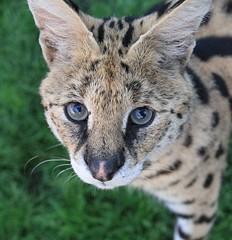 Male serval Morpheus