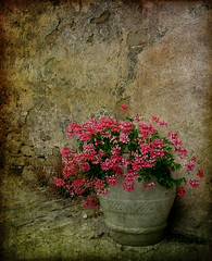 """..fortunatamente da giorni è finita la lenta agonia dei tuoi fiori.."" (fi0na) Tags: pink flowers italy music flower color colour texture fleur colors beautiful beauty rose fleurs wow wonderful italia colours colore couleurs rosa musica poesia lovely fiori toscana fiore colori couleur venere musique maremma carmenconsoli lyric geranio populonia gerani costadeglietruschi vasodipandora"