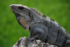 Mscara? (Sandra Rajkov) Tags: voyage trip travel naturaleza verde green nature animal fauna mxico mexico vacances vert iguana mexique mascara xcaret animaux vacaciones masque quintanaroo naturel nikond80 colourartaward rajkov beautifulmonsters sandrarajkov