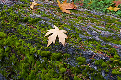 Here's where I landed from above (Maureen Bond) Tags: ca autumn tree leaves moss textures bark napa lichen needles