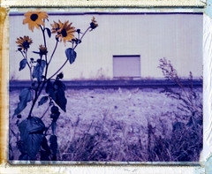 (moominsean) Tags: arizona polaroid industrial manvsnature elmirage polaroid195 iduv autaut whyilivehere expired1204 daisiesinthewinter
