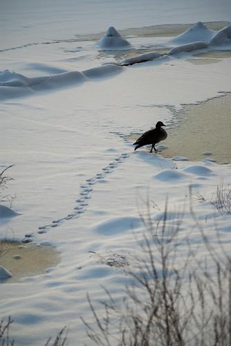 Goose on ice