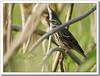 Rosy Pipit (Anthus roseatus) (Z.Faisal) Tags: bird nature nikon beak feathers aves nikkor bangladesh avian bipedal bangla faisal feni rosy desh d300 zamir pipit anthus tulika pakhi endothermic golapi nikkor300mmf4 muhuri anthusroseatus rosypipit zamiruddin roseatus zamiruddinfaisal zfaisal muhuriproject muhuridam golapitulika