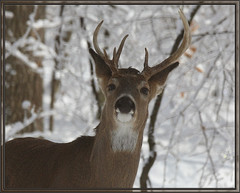 Peeping Tom (glenda.suebee) Tags: winter ohio snow ice woods deer explore buck whitetail glenda peepingtom nontypical ohiofoothills