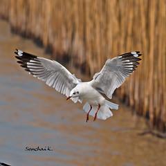 Brown-headed Gull (somchai@2008) Tags: brownheadedgull larusbrunnicephalus
