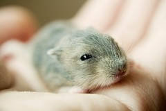 cedar (mela.de.gypsie) Tags: blue pet reflection cute love look rodent furry hand fuzzy dwarf lie cedar tiny round hamster sniff teeny winterwhite hold sapphire      openeyes   thesweetestprettiestbabyhamsterever