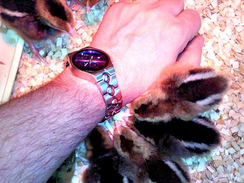 Chicks Watch