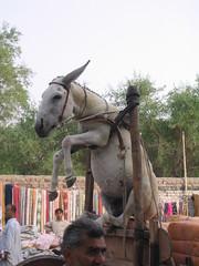 Donkey in Air (Jahangir @) Tags: pakistan donkey karachi sindh overload sukkur jahangirkhan