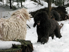 a little lunchtime play (Foxxy & Baldr) Tags: snow cords nh londonderry standardpoodle baldr 37fcloudyfoggy