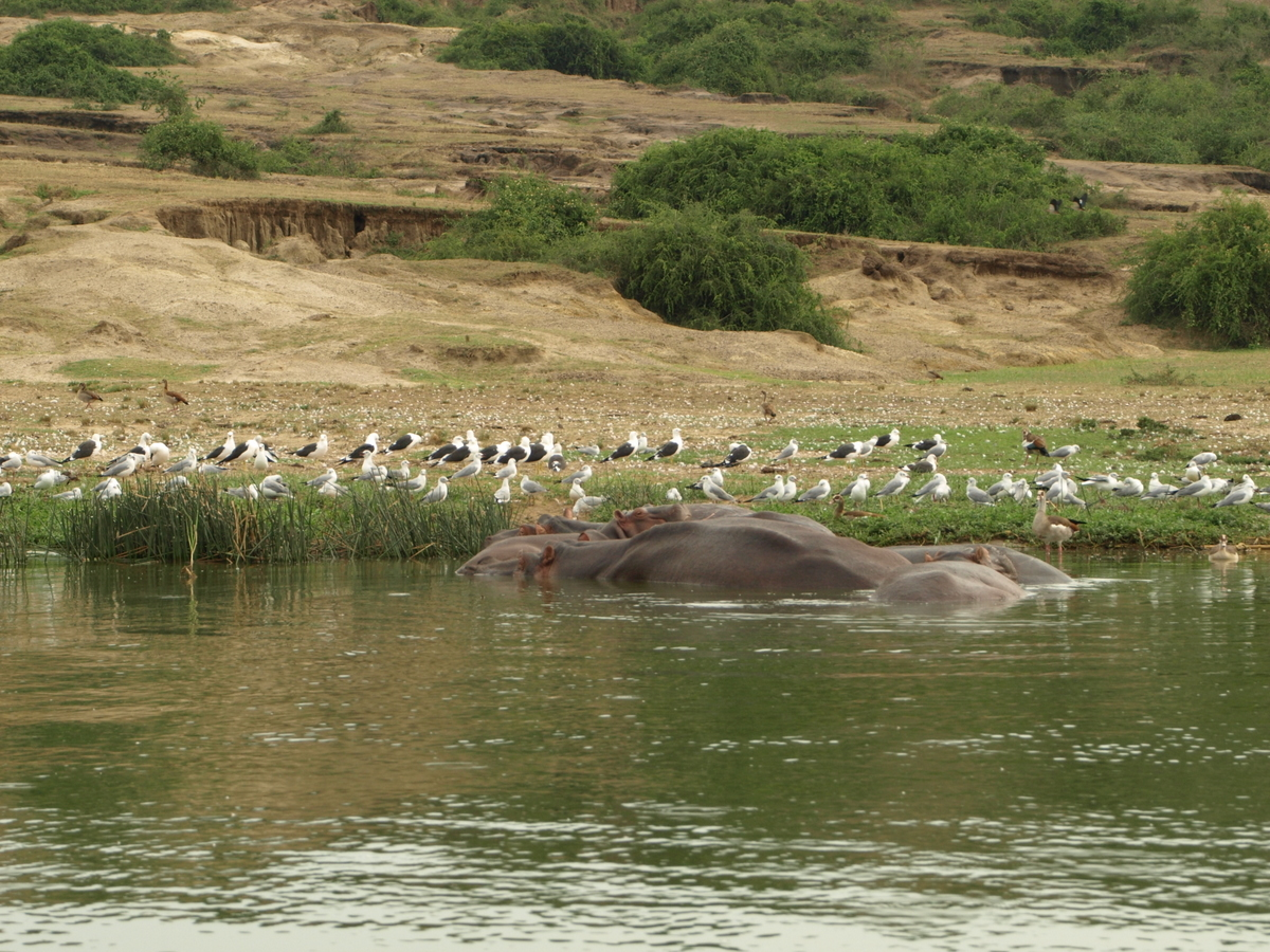 Birds and Hippos' back