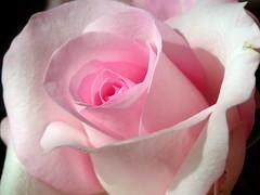 Happy Valentine (FlowerXP) Tags: pink roses soe interestingshot naturepeople macromania abigfave youthparade worldsbestdazzlingshots flowersandorcrystals vosplusbellesphotos panoramafotografico diamondphotographersclub floralfantasia