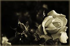 @ (Maria Artigas) Tags: 2 naturaleza flower nature sepia flor rosa kisses dos pto kitkat offline rouse rosal virado rosae seguire tapronto nomevoy