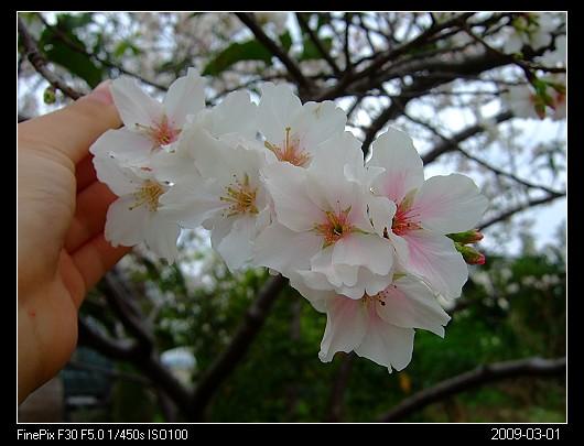 20090301Cherry_blossom_1