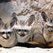 Bat eared fox by floridapfe