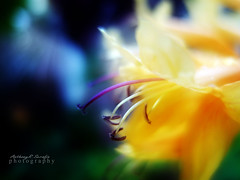 What can I say (anthonyserafin) Tags: flower macro lumix bokeh anthonyserafin