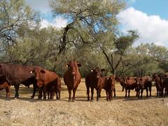 Ganado Santa Gertrudis, Nuevo Len (jacerdat) Tags: ranch mxico cattle ganado rancho vacas nuevolen santagertrudis